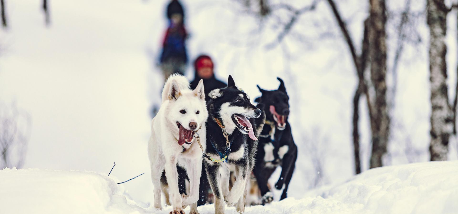 Dog sledding Lyngsfjord Adventure